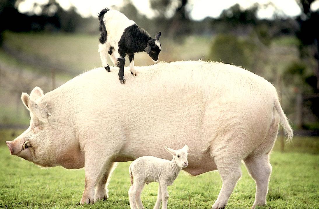 pig-lamb